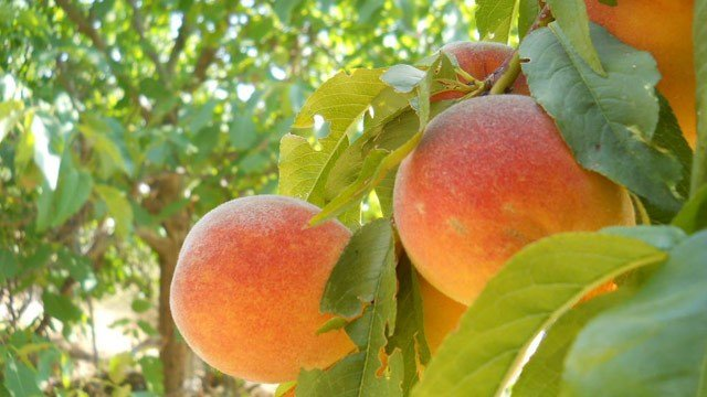 Peaches (Wikimedia)
