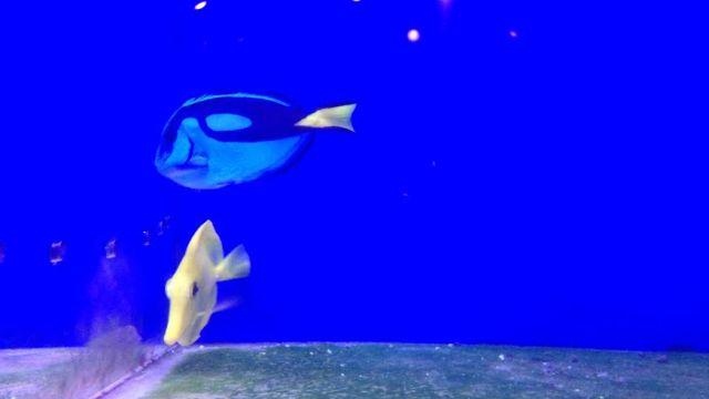Royal blue tang fish in high demand at upstate pet shops for Blue tang fish facts