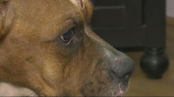 Amara, shot in the face by her owner, is recovering in Henderson Co. (FOX Carolina)