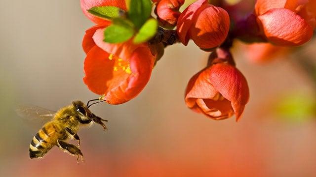 A honey bee pollinating flowers. (Source: Wikimedia/Louise Docker)