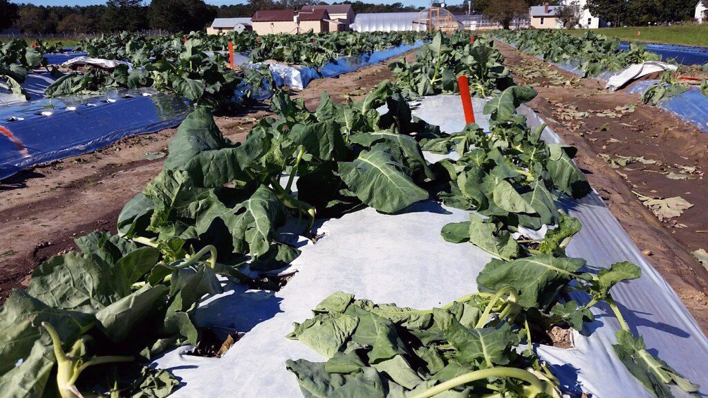 Up to 75 percent of one acre of experimental broccoli might have been destroyed by heavy winds (Source: Brian Ward / Clemson University)