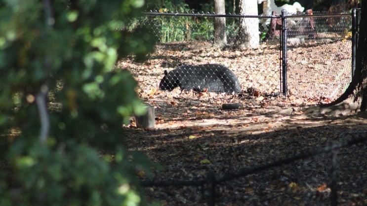 Bear in Simpsonville (Source: Matt)
