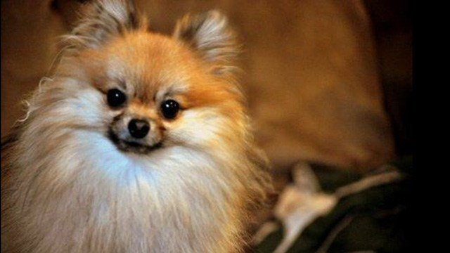 Pet Pomeranian euthanized by Greenville clinic (Source: Family)