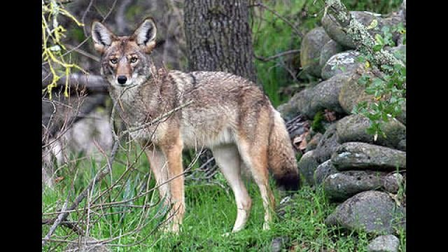 Coyote in wooded area (Courtesy: U.S. Fish & Wildlife Service)