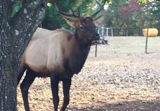 Elk in Norris (Courtesy: Lana Miller)