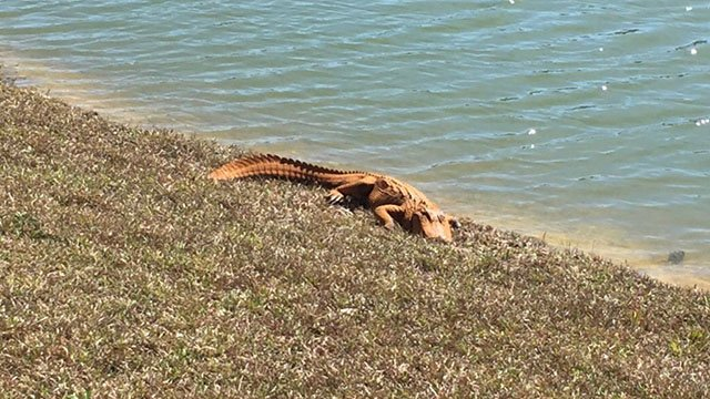 Orange alligator spotted in Calabash, NC. (Credit: Nick Andrews, Kelly Jochim)