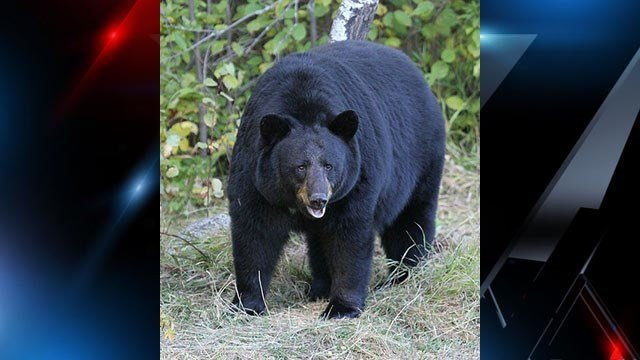 American Black Bear (Source: Wikipedia)