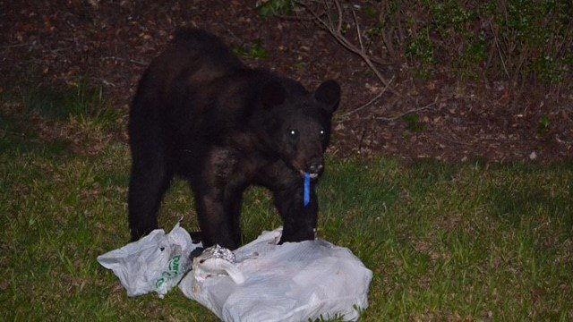 Black bear spotted in Cowpens neighborhood. (Credit: Kimberly Ridings)