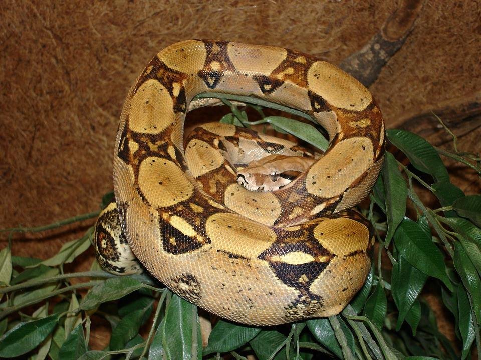 Boa constrictor (Source: Congaree National Park)