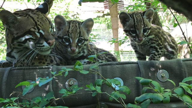 Baby Ocelots (Courtesy: Greenville Zoo)