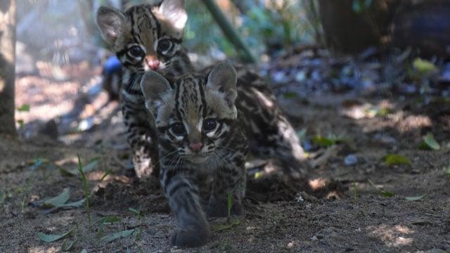 Baby Ocelot (Courtesy: Greenville Zoo)