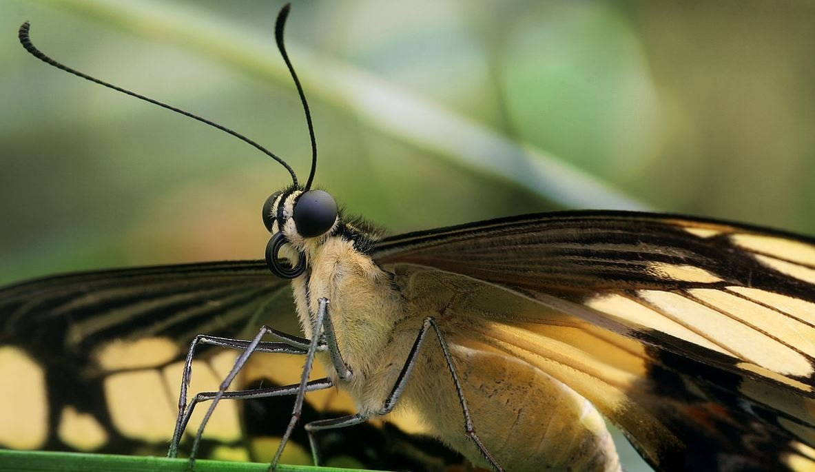 Close-up of butterfly (Richard Bartz/ Wikimedia Commons)