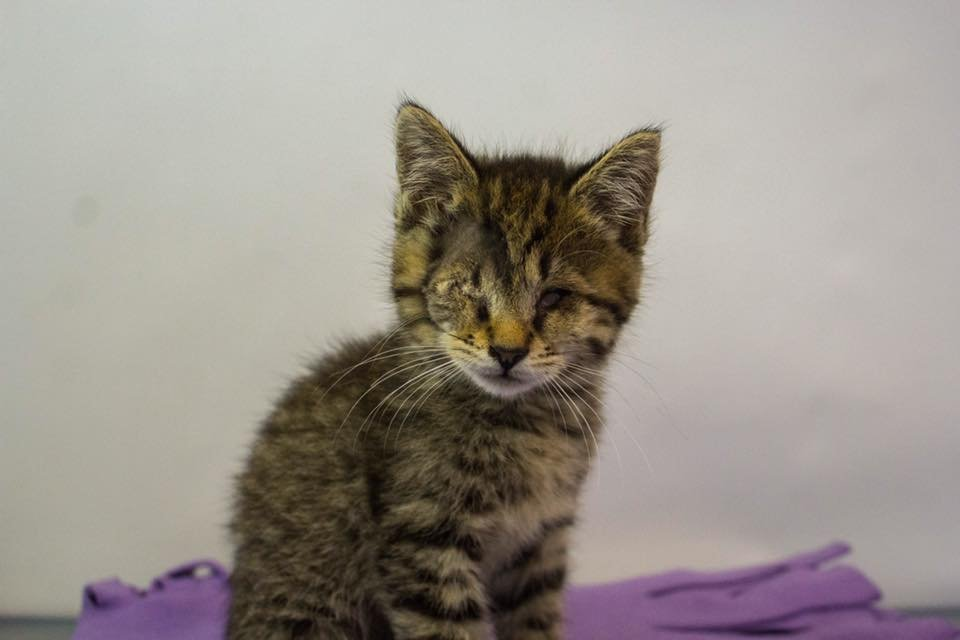 Bubbles the kitten (Source: Greenville Humane Society)