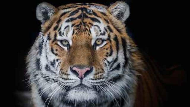 Tiger. (Source: AP Images)