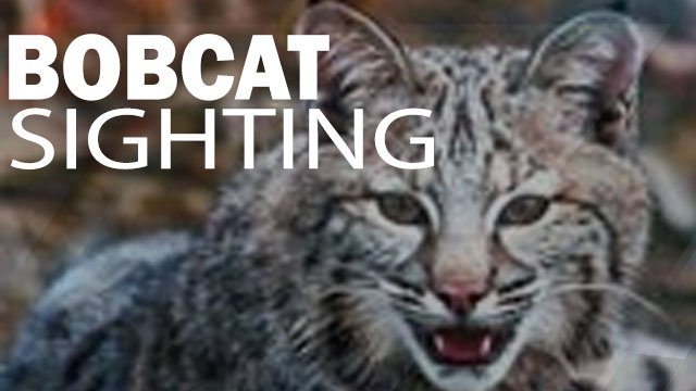 Bobcat image source: SC DNR