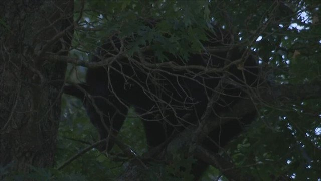 Bear spotted in Chesnee. (6/6/17 FOX Carolina)