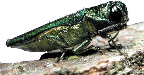 Emerald ash borer (Source: Wikimedia)