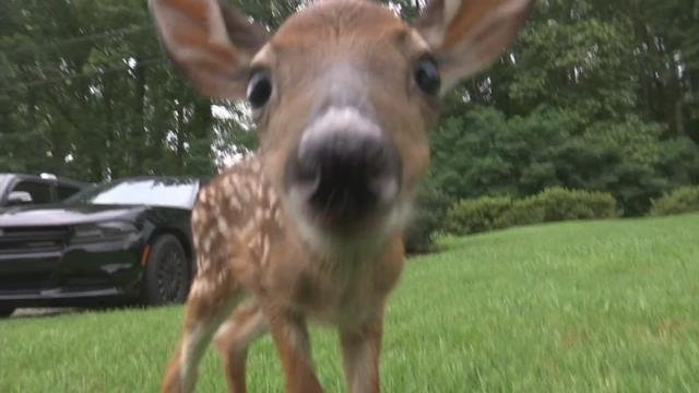 Trooper's family takes in orphaned baby deer after crash