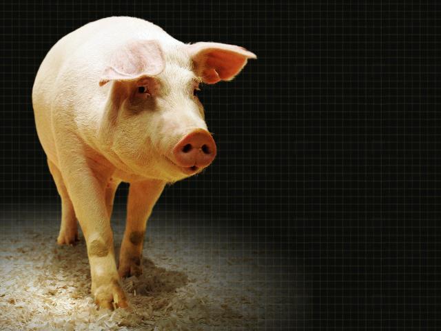Pig (Source: Associated Press)