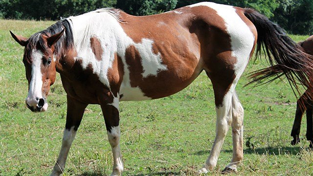 Paint Mare. (Source: ACSO)