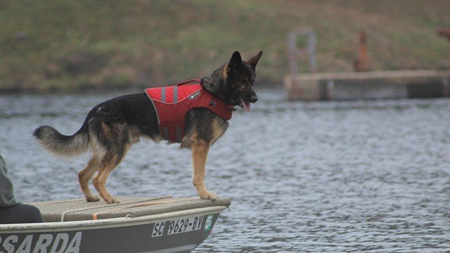 K9 Beau of SCSARDA working the water for cadaver scent. (Source: SCSARDA)