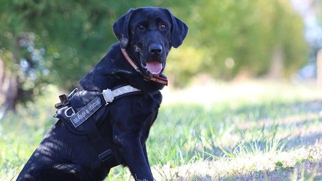 K9 Remington, one of SCSARDA's trailing dogs. (Source: SCSARDA)