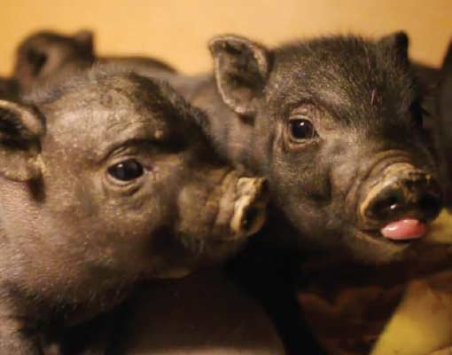 Potbellied piglets (Courtesy: Brother Wolf)