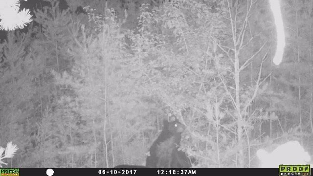 Bear cub captured on night cam. (Source: Al Saunders)