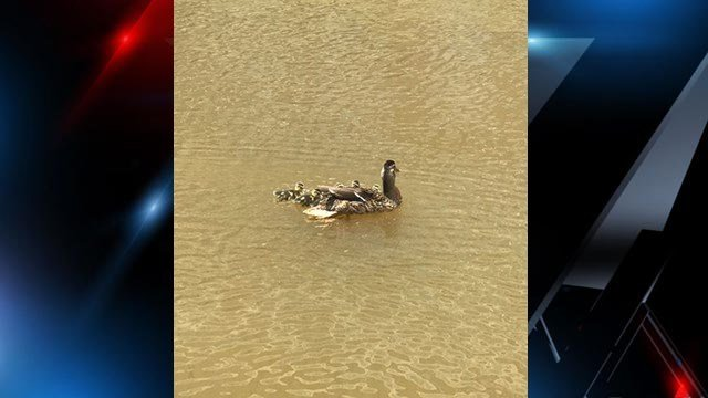 Ducklings swimming with their mother after being saved by GPD. (Source: GPD)