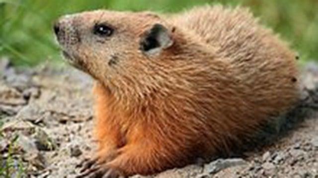 Woodchuck (Source: Wikimedia Commons)
