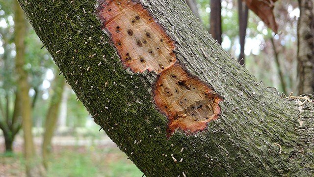 Damage caused to avocado tree in Miami from Ambrosia beetle. (Source: AP Images)