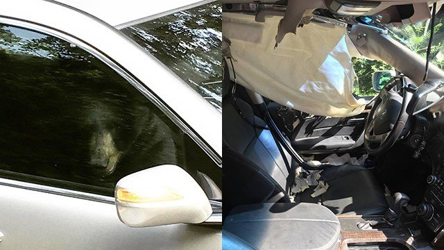 Bear totals family's car from inside after breaking in, becoming trapped (Source: Ashleigh Watkins)