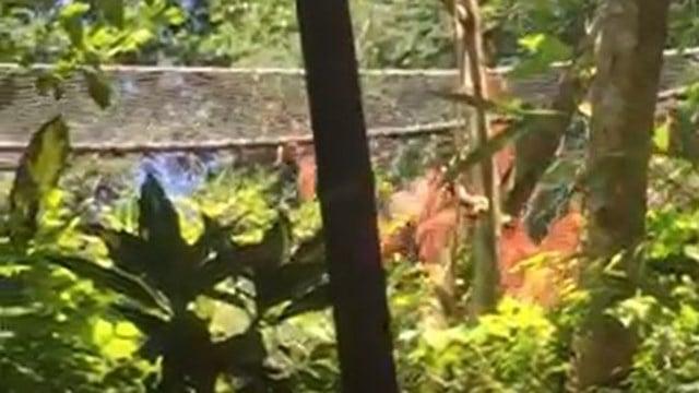 Orangutan who escaped from enclosure. (Credit: Kevin C.)