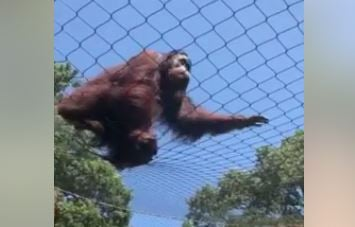 Orangutan who escaped from enclosure. (Credit: Emilie S.)