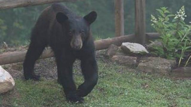 Boo Boo the black bear in Franklin, NC. (Credit: David LaNinfa)