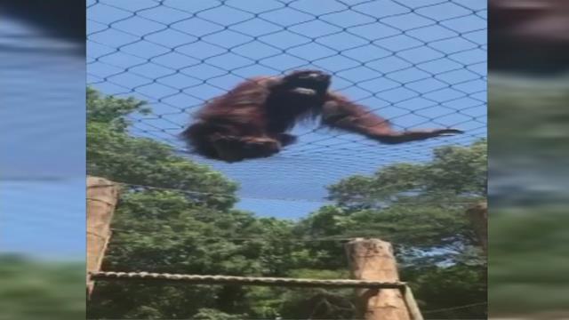 Kumar escapes his enclosure at the Greenville Zoo in July 2017. (FOX Carolina)