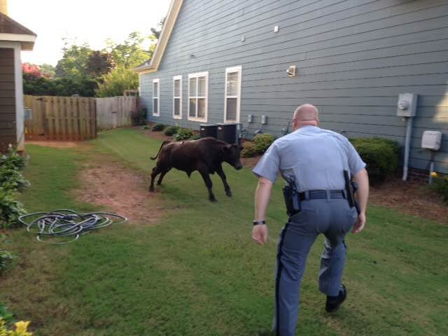 The trooper tries to corral the bull (Courtesy: Cindi Knox via Facebook)