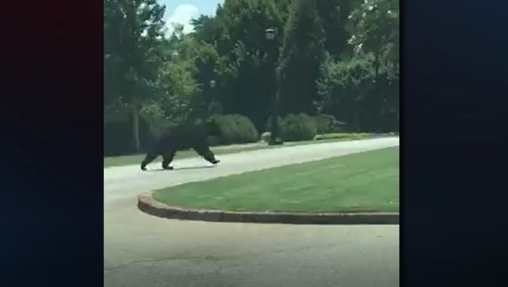 Bear on campus at Furman (Brad Bechtold)