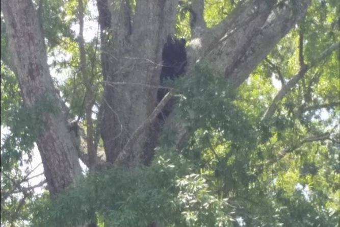 Bear in Landrum (Viewer photo)