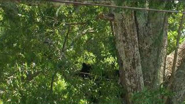 Bear spotted in Landrum tree (FOX Carolina/ 7/22/17)