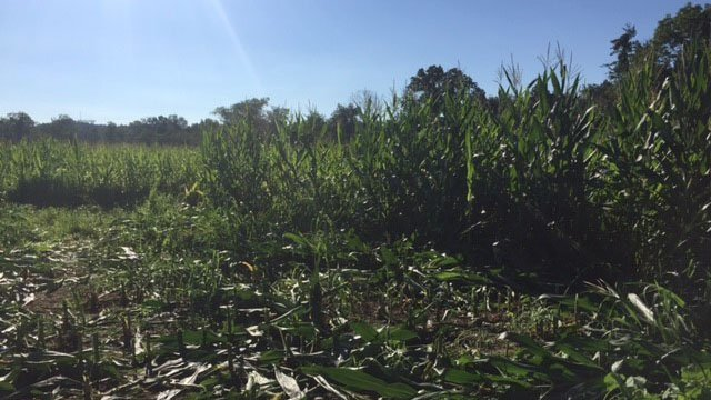 Cornfield where Bryson's body was found (July 31, 2017/FOX Carolina)