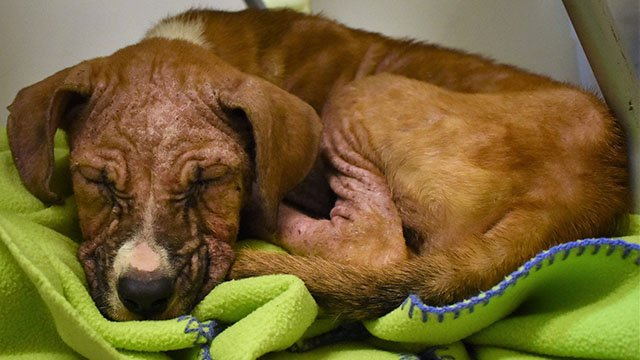 Leland the puppy (Source: Greenville Humane Society)