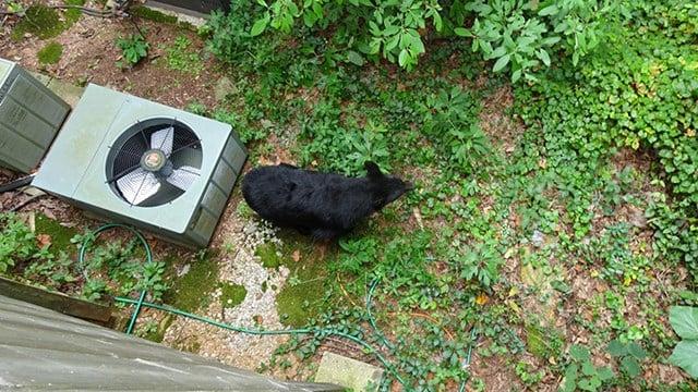 Black bear outside Paris Mountain home (Source: Margaret Thomas)