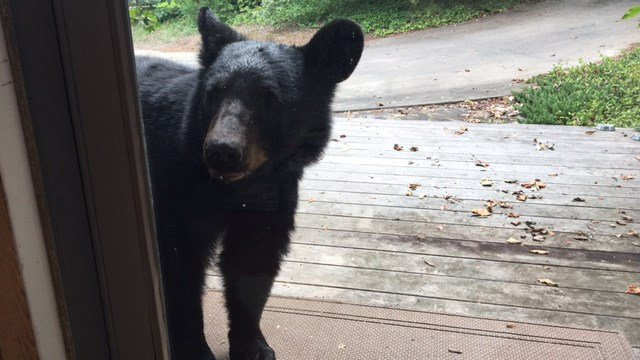 Upstate woman spots bear outside paris mountain home fox carolina 21 bear approaches front door of greenville co home aug 30 2017 publicscrutiny Choice Image