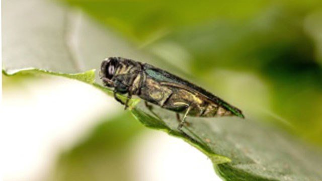 Emerald Ash Borer (Source: USDA)