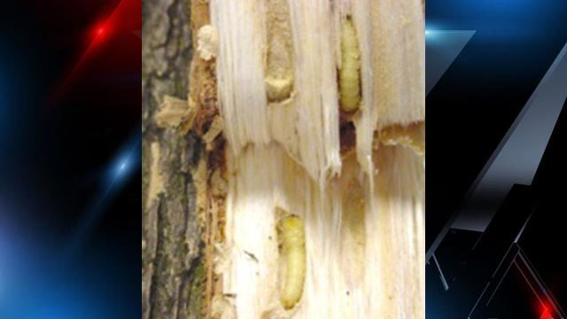 Emerald Ash Borer larva in ash tree. (Source: USDA)