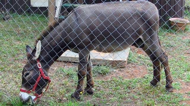 Deputies say this donkey was found wandering near Starr. (Anderson County Sheriff's Office)