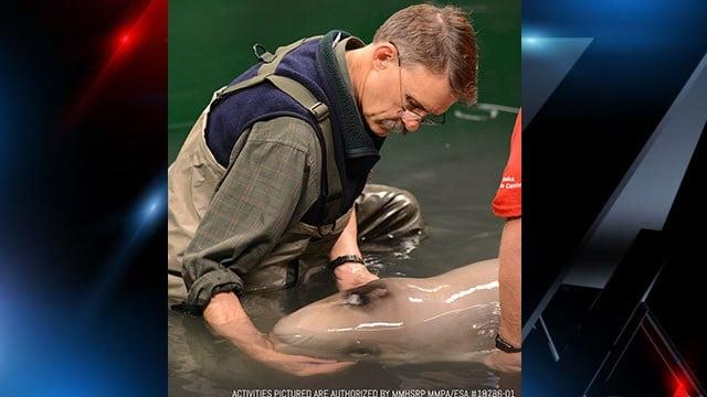 Rescued baby Beluga. (Source: GA Aquarium)