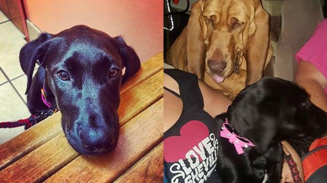 Harlem and bloodhound Ginger (Source: David Hawkins/BRSAR)