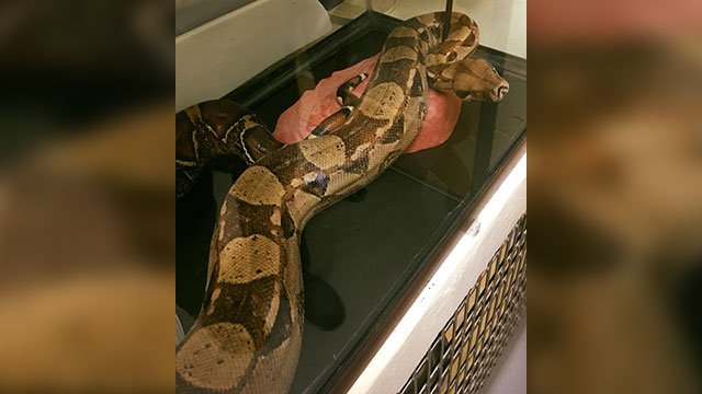 Boa constrictor found in hotel bed (Source: Asheville PD)